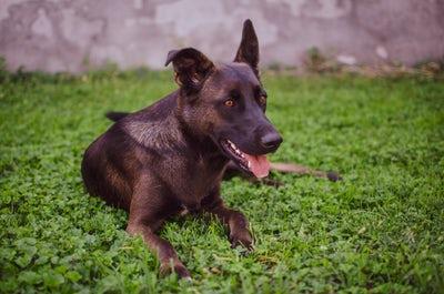 犬の伏せの写真